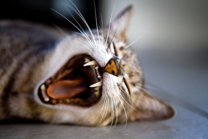 cat yawning for web